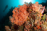 Diver looks on at sponges, pink soft corals and crinoids in a colourful Komodo seascape,  Komodo National Park