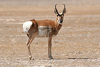 An antelope watches cautiously in the Salt Lake Desert. Herds of antelopes were noted in the Diary of Jedediah Smith and his 1827 crossing of the Great Salt Lake Desert. Photographed 7/07