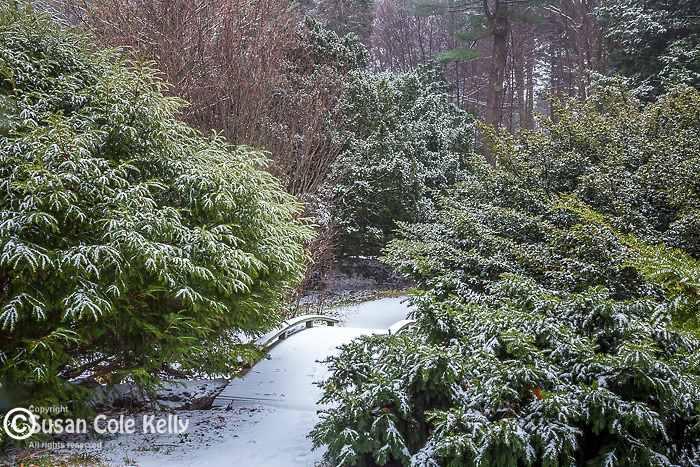 Snowy evergreens at the Arnold Arboretum in the Jamaica Plain neighborhood, Boston, Massachusetts, USA