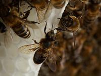 Wax-producing bees on a comb under construction.<br /> Sur un rayon en construction, les abeilles cirières.