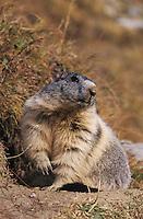 Alpine Marmot, Marmota marmota, adult, Saas Fee, Switzerland, September 2003