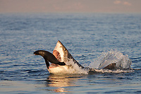 great white shark, Carcharodon carcharias, attacking Cape fur seal, Arctocehpalus pussilus pussilus, Seal Island, False Bay, South Africa