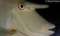 0515-1002  Short-nosed Unicorn Fish (Brown Unicornfish), Naso brevirostris  © David Kuhn/Dwight Kuhn Photography