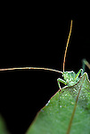 Insects, Orthoptera