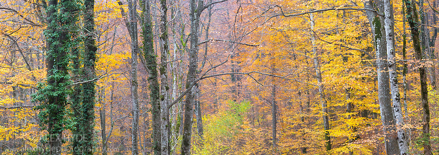 Beech woodland {Fagus sylvatica} showing autumn colours, Plitvice Lakes National Park, Croatia. November. Digitally stitched panorama.