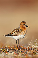 Adult male Spoon-billed Sandpiper. Chukotka, Russia. June.