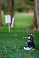 A baby albatross waits for its mother on a golf course in Princeville, Kauai