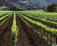 Rows of GRAPE VINES blanket the valley floor until they reach the OAK covered hills - NAPA VALLEY, CALIFORNIA
