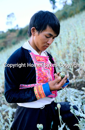 Scoring poppy in Hmong tribal people, Meo Village. Northern Thailand. Farmers are being persuaded to grown coffee beans rather than poppies.  1990s.