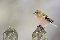 Common Chaffinch (Fringilla coelebs), adult perched on fence, Zug, Switzerland, December 2007