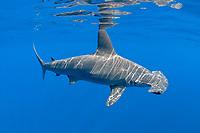 female scalloped hammerhead shark, Sphyrna lewini, with reflection on undersurface of ocean, Keauhou, Kona Coast, Hawaii Island ( the Big Island ), Hawaiian Islands, Indonesia,