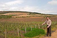 pinot noir vineyard, Philippe Bernard, owner winemaker clos st louis fixin cote de nuits burgundy france