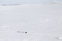Tuesday March 13, 2012  Ken Anderson on Golovin Bay nearing White Mountain. Iditarod 2012.