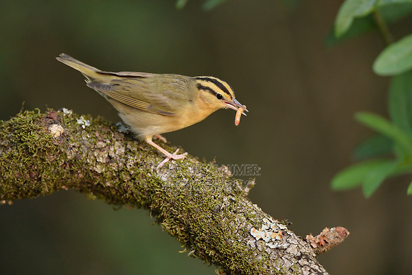Worm-eating Warbler (Helmitheros vermivora), adult with worm prey, South Padre Island, Texas, USA