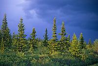 Spruce trees, taiga, Denali National Park, Alaska