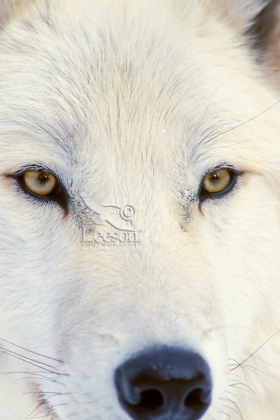 Arctic Wolf or Arctic Gray Wolf (Canis lupus)