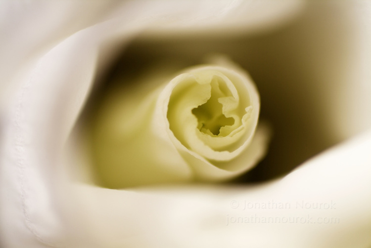 close-up of a Lisianthus (Lisianthus russellianum) blossom  - commercial/editorial licensing for this image is available through: http://www.gettyimages.com/detail/200164109-001/Photographers-Choice