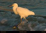 Snowy Egret at Sunrise Wave Break Heron Little Egret Egretta thula Sanibel Island Florida