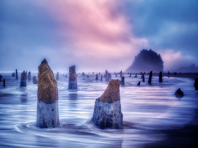 The Ghost Forest at an extreme minus tide with sunrise and fog. Neskowin, Oregon