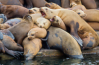 California sea lions (Zalophus californianus) crowding together (sunning/resting) on a boat dock.  Central California Coast.  Sea lions often crowd together for warmth.