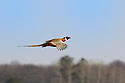 00890-037.18 Ring-necked Pheasant in flight against a blue sky and trees.  Hunt, action, fly, tail, color, glide.