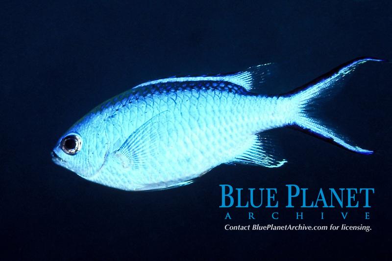 blue chromis, Chromis cyanea, Pickles Reef, Islamorada, Florida, Atlantic