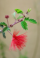 Fairy Duster, Calliandra eriophylla (Pea family), a.k.a. Calliandra, Mesquitilla, False-Mesquite. A beautiful decorative shrub which grows wild in deserts of the Southwest. desert vegitation, flowering plants, shrubs. Fairy Duster. Arizona.