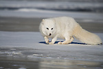 Arctic Fox (Alopex lagopus) lying on the ice.