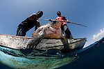 Moluccan fishermen in their dugout canoe hunt an olive ridley sea turtle (Lepidochelys olivacea) with their spear.