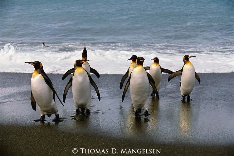 As a colony of king penguins emerges from a dip in the Antarctic seas, a distinctively awkward waddle disguises an aquatic elegance unsurpassed by few other species.<br /> Gold Harbour, South Georgia Island