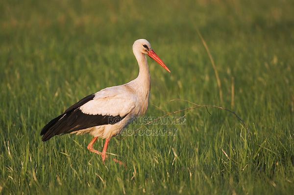 White Stork, Ciconia ciconia, adult, National Park Lake Neusiedl, Burgenland, Austria, April 2007
