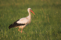 White Stork, Ciconia ciconia, adult, National Park Lake Neusiedl, Burgenland, Austria, April 2007