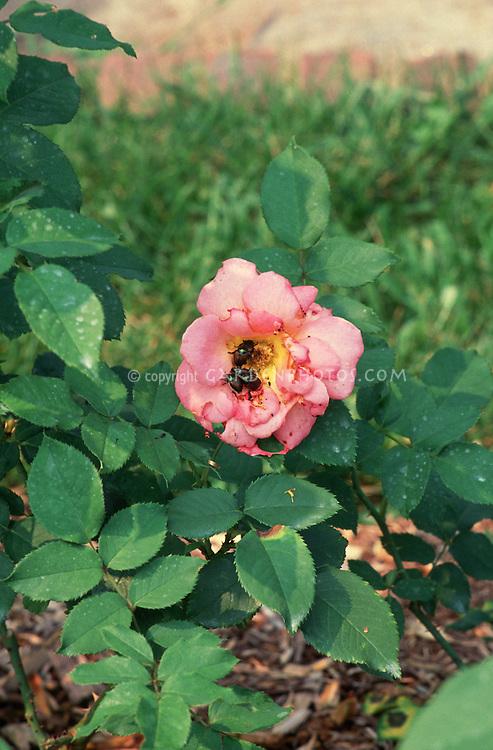 Japanese beetle damage to rose flowers and foliage (Rosa 'Electron')