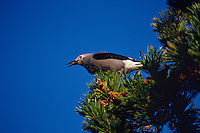 Clark's Nutcracker (Nucifraga columbiana) harvesting seed from Whitebark pine tree.  Subalpine meadow, Pacific Northwest.  Sept.