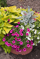 Annuals, foliage and flowering: Ipomoea Margarita sweet potato vine, Calibrachoa, container planting pot of annual flowers and foliage plants, Senecio Dusty Miller Silver dust, wood mulch