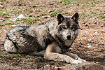 grey wolf grey color phase laying on ground looking at camera full body view