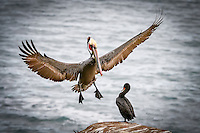A Brown Pelican landing at La Jolla Cove near San Diego, California while a Double Breasted Cormorant stands by watching.