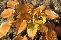 Hosta Halcyon and Geranium in buttery brown orange autumn fall color