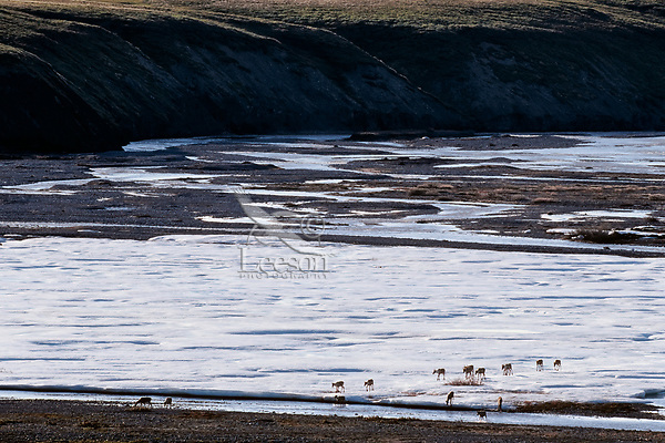 Barren ground caribou on arctic coastal plain, Northern Alaska, Summer.  They are crossing large ice-snow patch along the Aichilik River.  These large ice fields mostly formed by freezing river water in fall & winter are among the last melting vestiges of winter in the arctic.