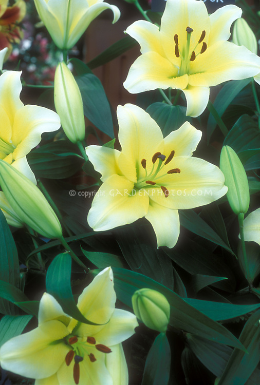 Lily Lilium Conca d'Or yellow flowers fading to white at ends, and buds (Oriental x Trumpet Lily Hybrid)