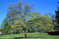 TT18-042z  Oak Tree - Quercus spp.