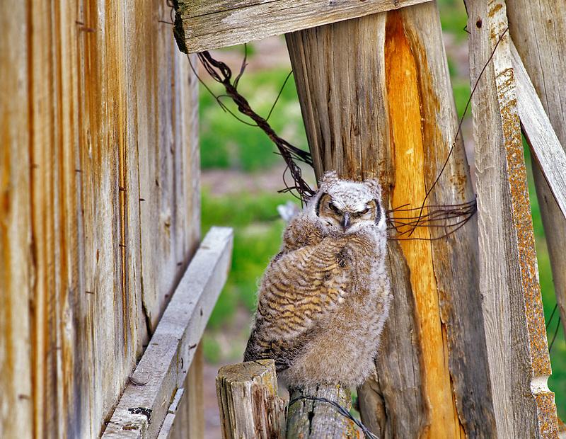 Great Horned Owl young near barn. Summer Lake State Wildlife Refuge, Oregon.