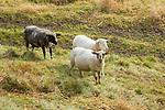 Sheep, Schafe, Kirchhügel, Bendern, Gamprin, Rheintal, Rhine-valley, Liechtenstein.