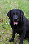 Black Labrador retriever (AKC) sitting on grass in summer.  Winter, WI.