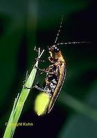 1C24-010z  Firefly - Lightning Bug - Male - Photuris spp.