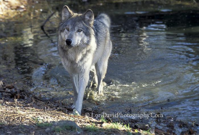 Wolf in Pond   #Z3