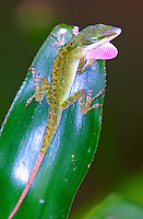 Green anole extends its dewlap, Daytona Beach, FL . (Photo by Brian Cleary / www.bcpix.com)