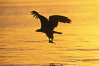 Bald eagle (Haliaeetus leucocephalus) fishing.  Sunset.  Pacific Northwest.