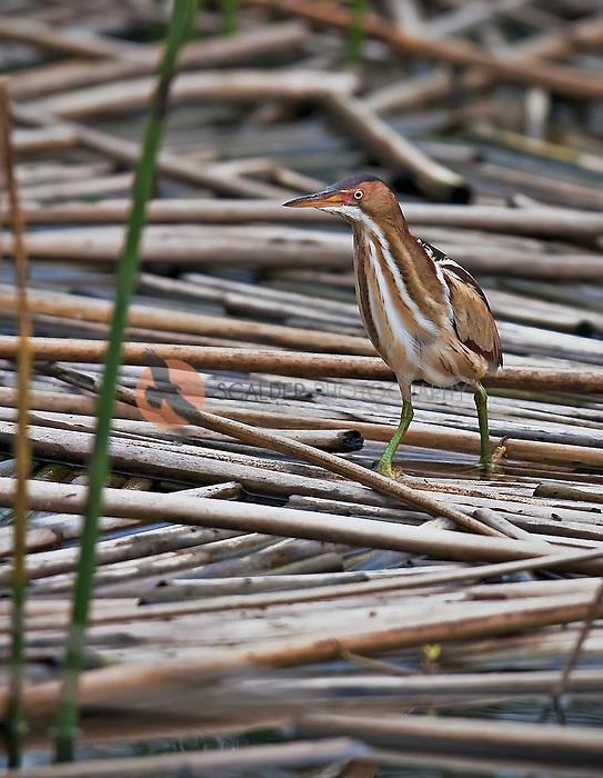 Least Bittern,the smallest heron, standing motionless in fallen reeds in Viera Wetlands