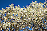 Brilliant white blooms adorn Bradford pear trees each spring in Charlotte, NC. Photo taken in early 2010 by Patrick Schneider Photo.com.